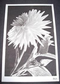 Floral greeting card, Star asters Photo, ca.1940
